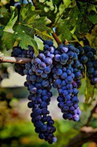 grape polyphenols
